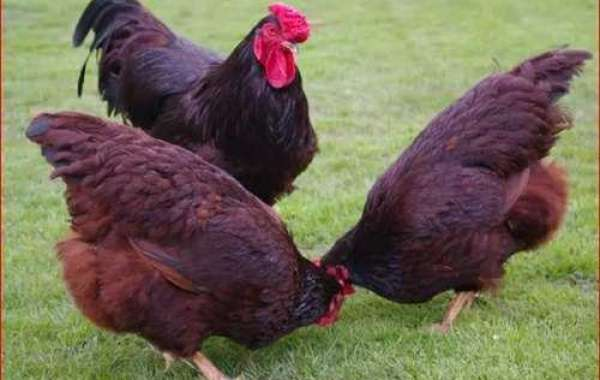 Rhode Island Red: What to Know
