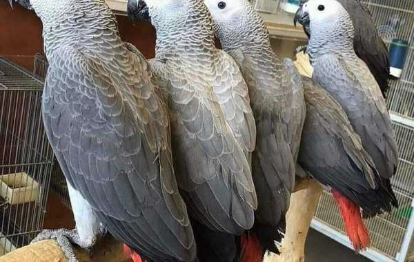 Where Can I Buy An African Grey Parrot   Bliss African Grey Parrots