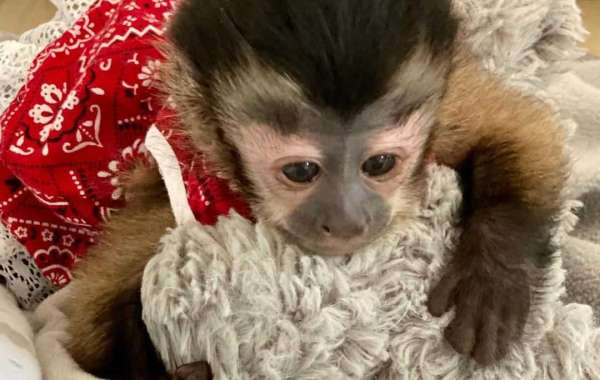commonly asked questions by people looking to buy a baby capuchin monkey as a pet.